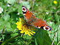 Butterfly in Cumbria